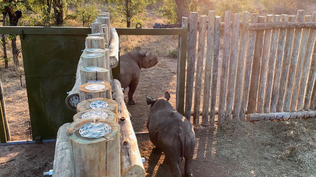 Rinocerontes negros em processo de reabilitação